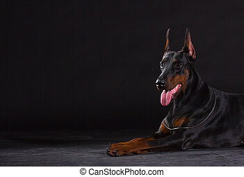 doberman dog on black background - Black doberman dog on...