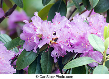 rhododendron - Fine pink rhododendron in a garden