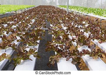 Vegetables hydroponics farms