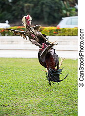 fighting cock on green grass, animal fight in asia