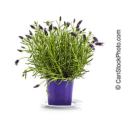 Lavender Stoechas plant in purple flower pot on white background