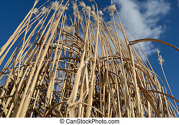 reed against the blue sky with clouds