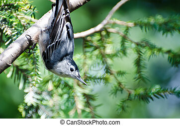White-Breasted Nuthatch Perched Upside Down