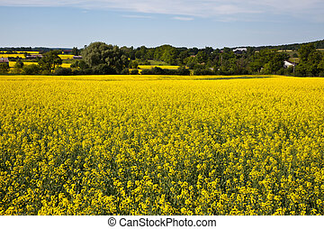 Blooming farmers crops - Bright yellow crops of rape plant