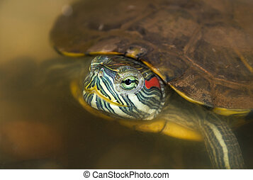 Red eared slider - Closeup of red eared slider in the wild