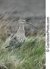 Curlew, Numenius arquata, female on moorland, Yorkshire,...
