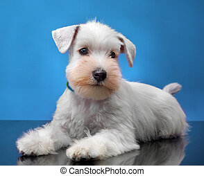 White miniature schnauzer puppy - Portrait of White...