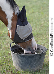 Skewbald Horse in a Fly Mask, Drinking Water - A skewbald...