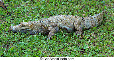 Alligator lying on green grass