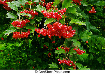 Arrowwood - A close-up of ripe arrowwood on a summer day