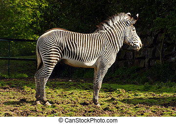 Grevy's Zebra side profile