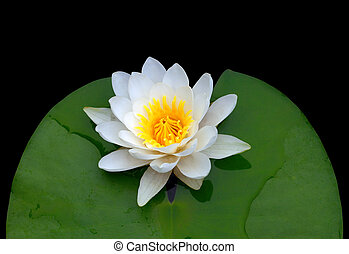 Victoria amazonica, water lily Isolated on black background...