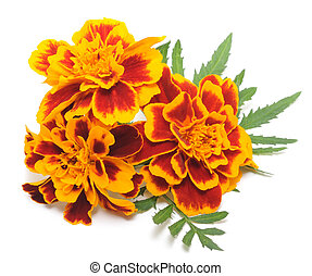 Marigolds - Yellow marigolds flower isolated on a white