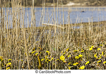 Tussilago farfara, National Park Zuid Kennemerland, The...