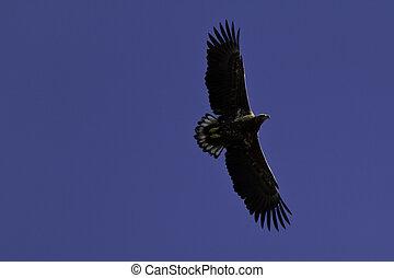 Sea eagle in the sky