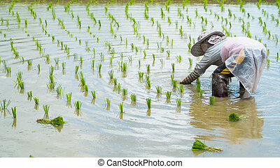 farmer transplant rice seedlings in rice field - farmer...