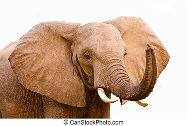 Elephant with trunk raised - Wild African elephant with it's...