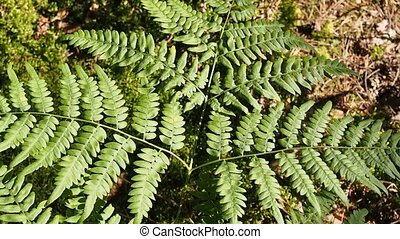 fern background - green forest fern sways in the wind