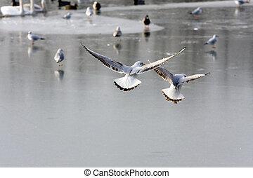 Gulls flying over frozen lake