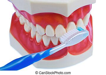 dental, modelo, escova de dentes, quando, Escovar, dentes