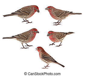 House Finches, Carpodacus mexicanus - Five male house...