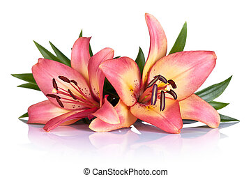Lily Flowers - Pink lily flowers on white background. Macro...