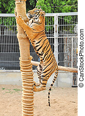 Bengal tiger - The Bengal tiger is the most numerous tiger...