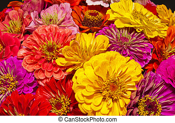 bunch of colorful flowers of zinnia - close up