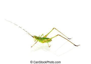 Katydid Nymph NC, aka grasshopper - Scudderia genus, katydid...