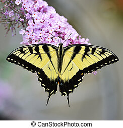 Eastern Tiger Swallowtail Butterfly On A Purple Butterfly...