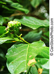 Noni or Indian Mulberry (Morinda. Citrifolia Linn)
