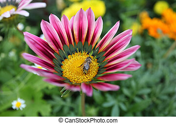 Marguerite - Marguerite with a bee on it