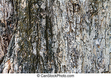 Bark texture, tropical tree in the northeast of Thailand