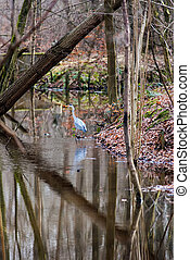 Great blue heron wading on waterside in a forest