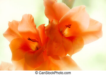 Orange gladiolus flowers with very light blurred background