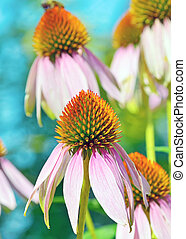 Pink Echinacea flowers in summer time
