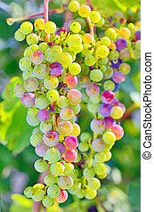 unripe grapes in summer time