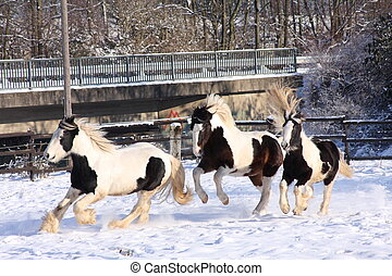 cobs in snow - gypsy horses running in snow