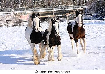 gitano, caballos, frontal