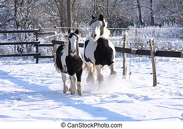 come one - gypsy horses running in snow