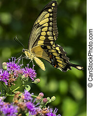 Yellow Swallowtail Butterfly - Yellow swallowtail butterfly...