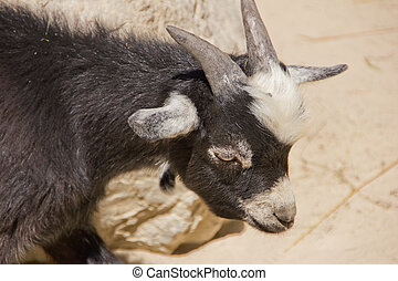 Young domestic goat looking at something