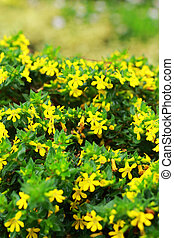 Singapore dailsy - yellow flowers - Singapore dailsy -...