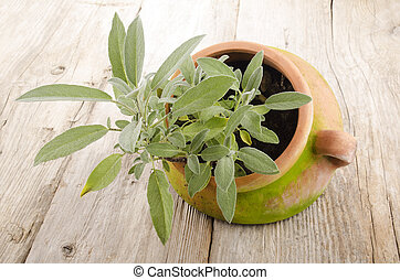 sage plant in a terracotta pot - sage plant in a weathered...