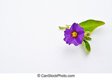 purple potato bush blossom on a white background
