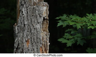 Dead tree in the forest. Shallow depth of field. Bark in...