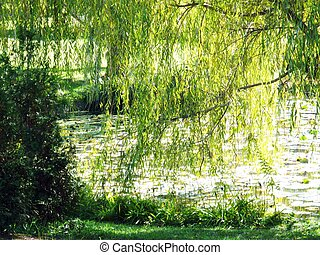 Weeping willow tree and water - weeping willow tree reaching...