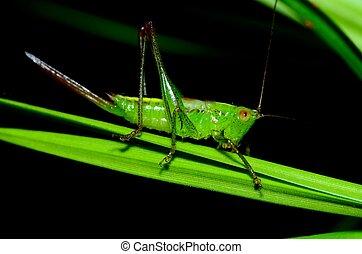 Katydid Nymph - A katydid nymph perched on a flower.