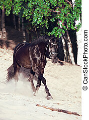 Running beautiful black stallion