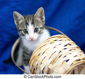 Grey and white kitten peeking out of a basket on a blue...